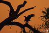 Tawny Eagle at sundown