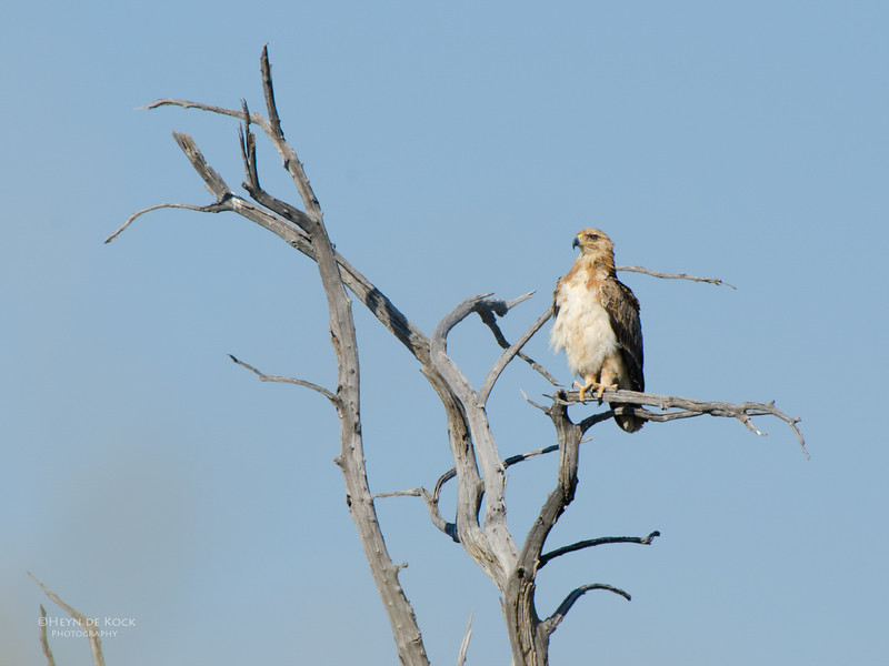 Booted Eagle, Etosha NP, Namibia, July 2011.jpg