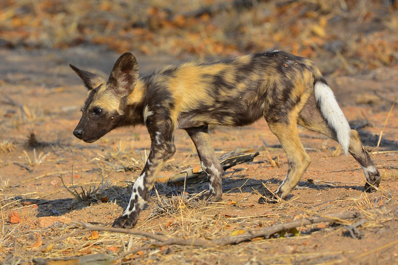 Wild Dog youngster.jpg