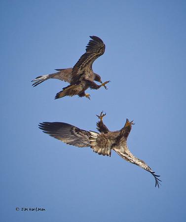 2010 - Young Bald Eagles Aerials