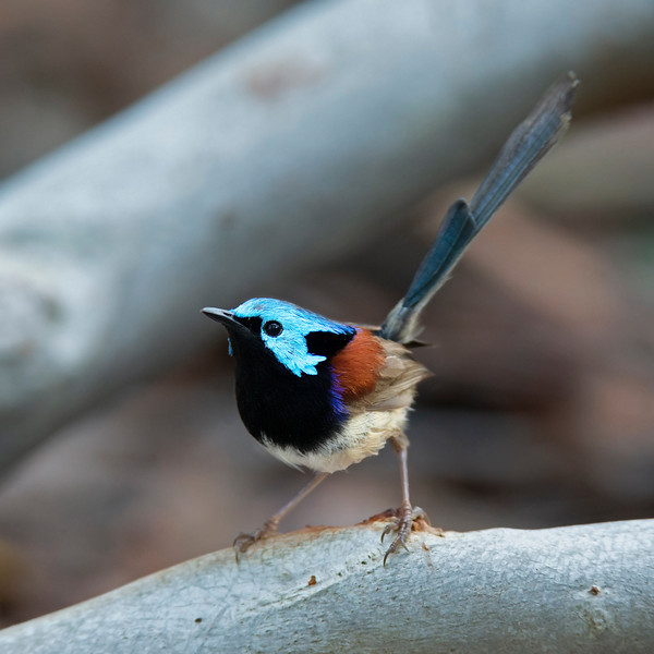Variegated Fairy-wren