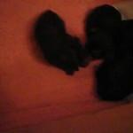 Yorkie Pups 2009