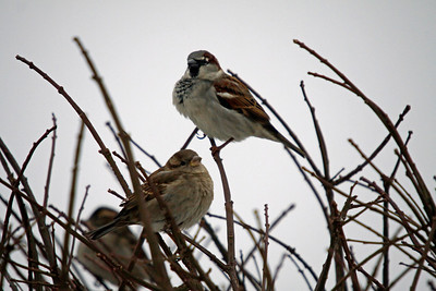 House Sparrows Niagara Falls