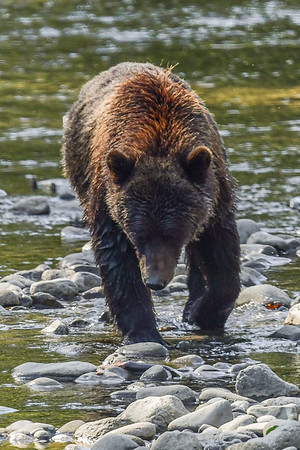 9-14-17 **Bella Coola Grizzly Mom & 2 Cubs Along The River