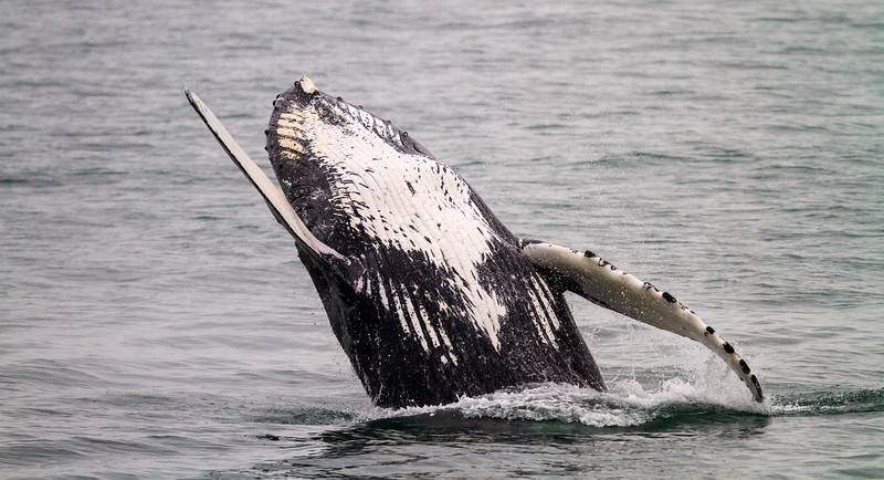 A humpback whale breaches the waters of Alaska.