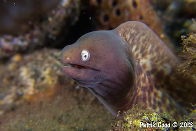 Highfin Moray