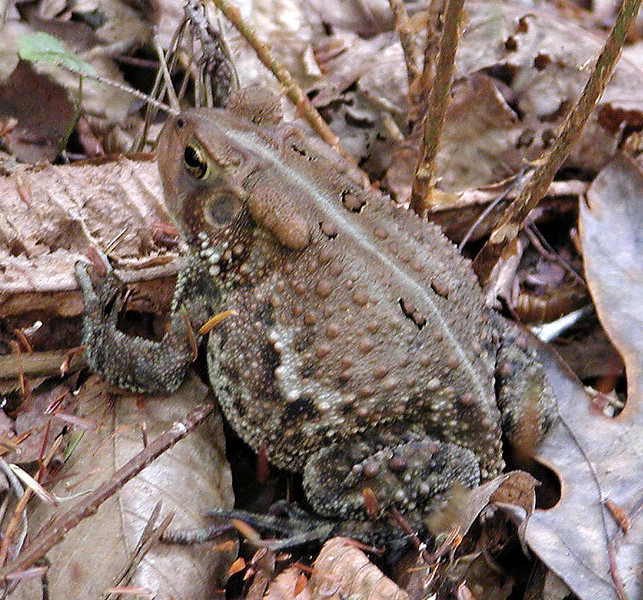 A trailside toad! Piney River Trail, TN 9/13/08