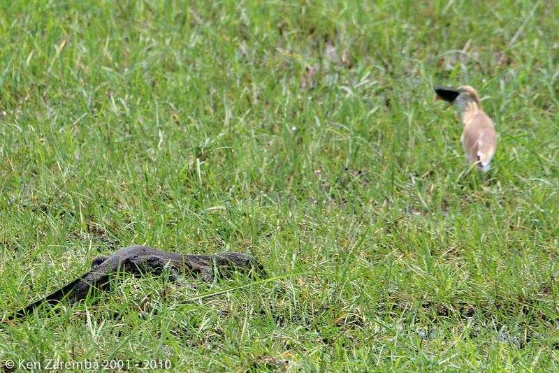monitor lizard and a squacco heron(with a just caught fish)