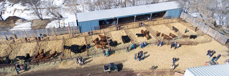 LeBlanc R+ Simmentals Bull Sale