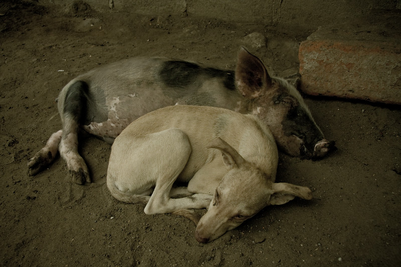 pig-and-dog_4808807245_o.jpg
