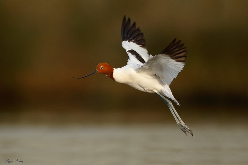 Red-necked Avocet flight 2 MASTER.jpg