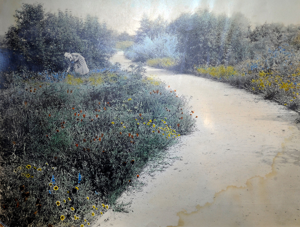 ". This hand painted 100 year old photograph shows a botanical garden that was found in the area where the Los Angeles Colesum is now standing. ""When they were wild,\"" is the Huntington Library\'s new Wildflower exhibition which kicks off a month of talks, workshops and wildflower sales. San Marino, CA 3/8/2013(John McCoy/Staff Photographer)"