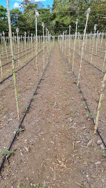 rows of vines in the vineyard