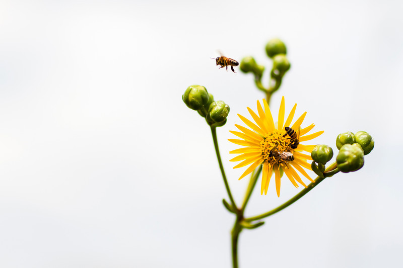 Honey Bees on a Compass Flower - Fermilab August 2013