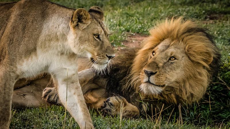 Lions-0127.jpg