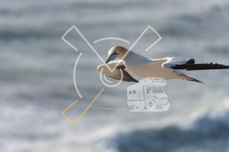 close up of australasian gannet in flight over the Tasman Sea