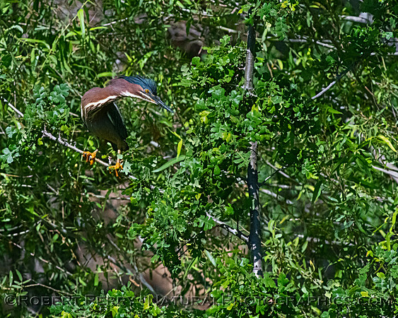 2021 06-02 etc Green Heron Nest