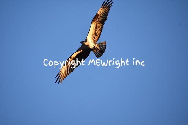 Osprey soaring high