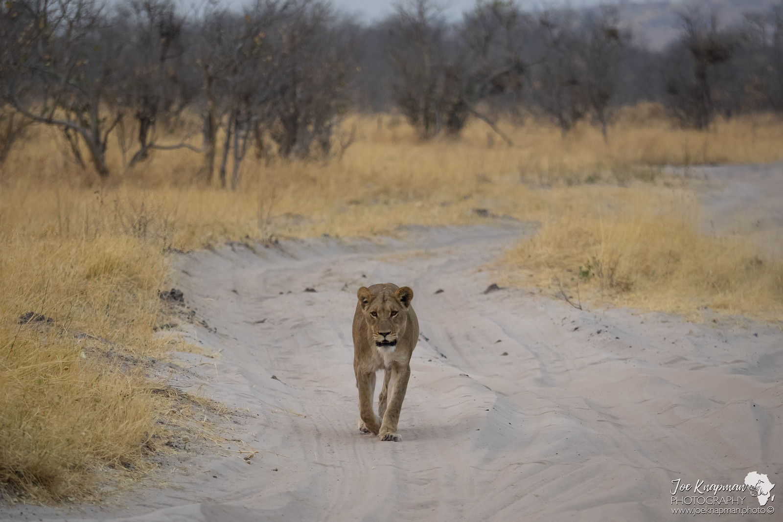 Lioness takes the road