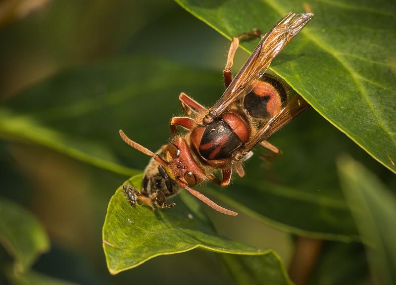 Hornet  (vespa crabro) eating a solitary bee on snowberry (symphoricarpos chenaultii Hancock) flower.