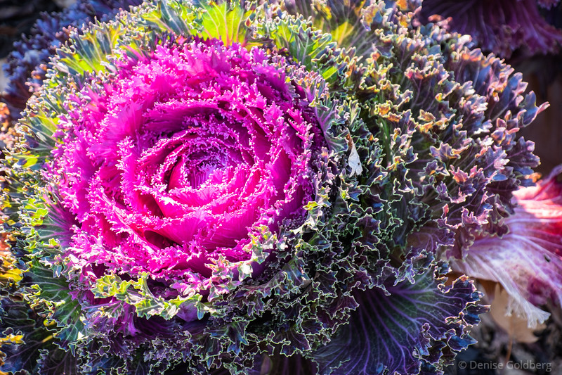 bright, colorful cabbages still decorate a garden in early December
