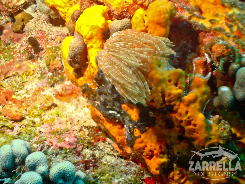 """Sea Feather Macro"" (Fishbowl Reef, St. Maarten)"