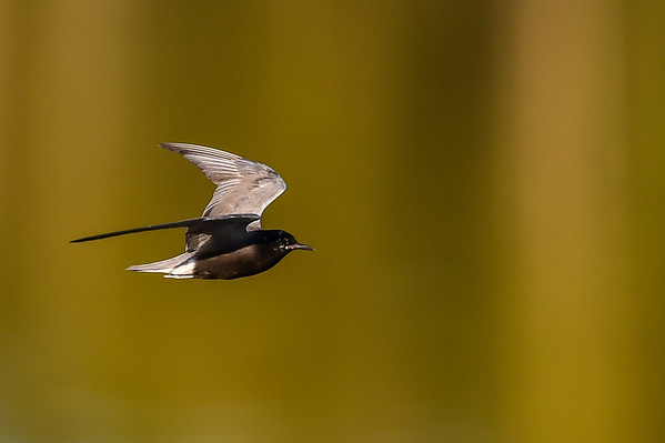 7-26-15 Black Tern