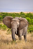 Wild elephant eating tall grass in Africa. Photography fine art photo prints print photos photograph photographs image images artwork.