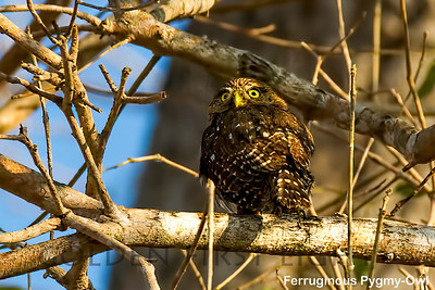 Ferruginous Pygmy-Owl, Pantanal, Brazil