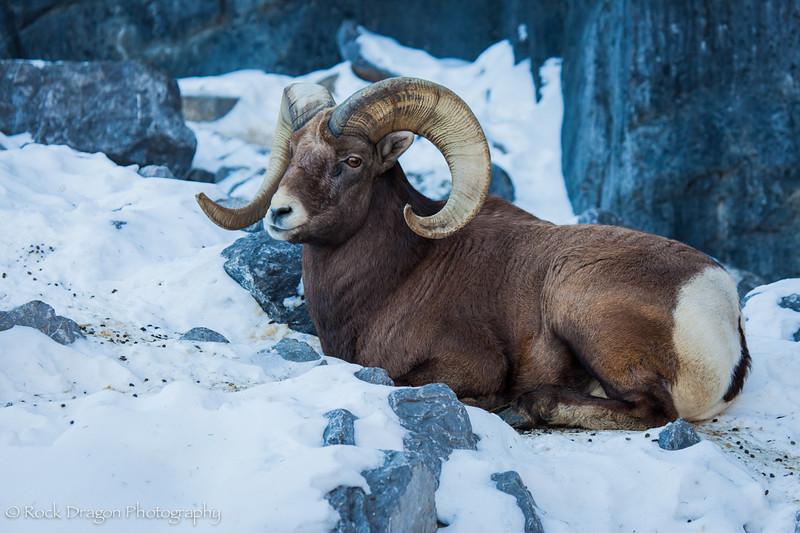 A bighorn sheep at the Calgary Zoo.