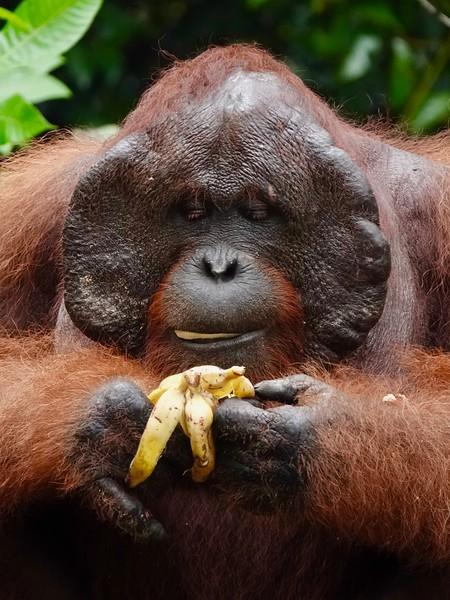 Portraits of Orangutans