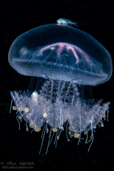 Jelly and driftfish (1 of 1).jpg