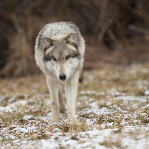 Wolf Park - March 14