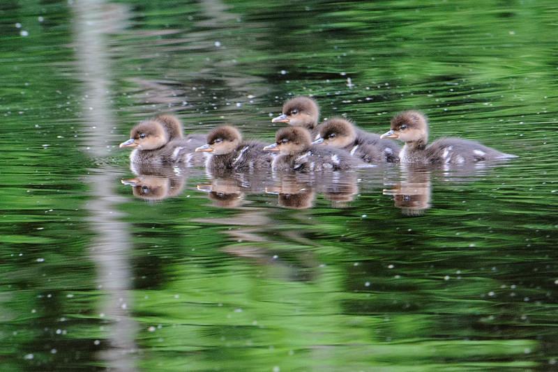 Merganser - Hooded - babies - Dunning Lake - Itasca County, MN