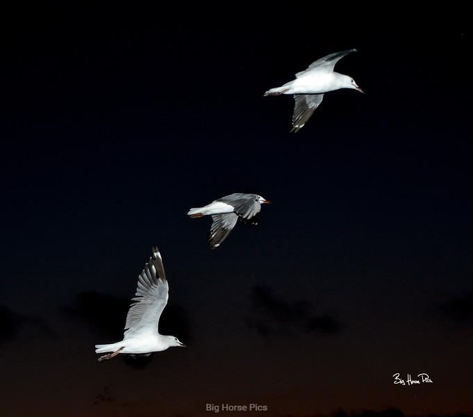 broome seagulls bhp.jpg