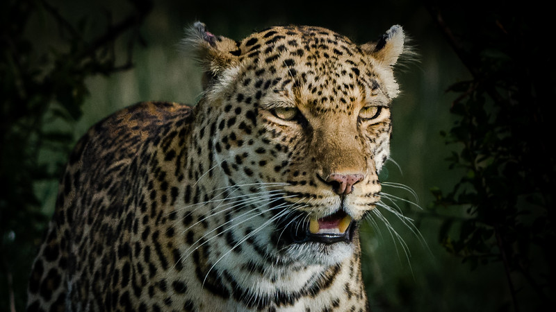 Leopards-0111.jpg