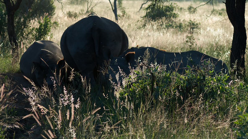 Næsehorn, Mabula Game Reserve, Limpopo, Sydafrika