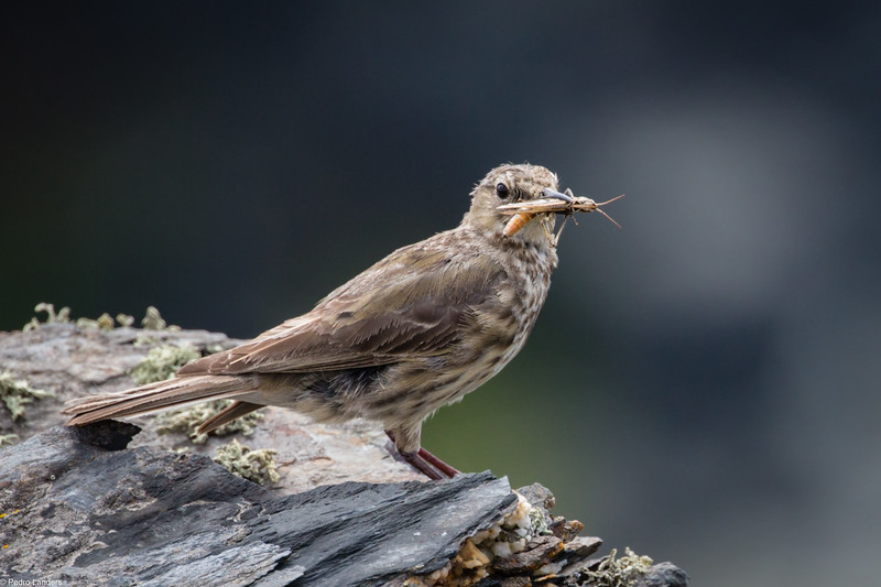 Pipit and Grasshopper