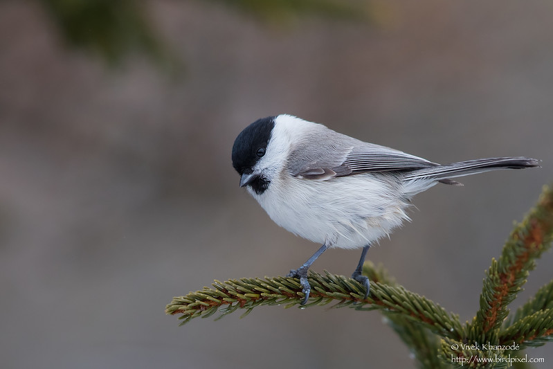 Marsh Tit - Hokkaido, Japan