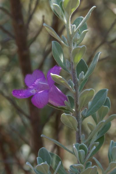 Leucophyllum frutescens - Purple Sage