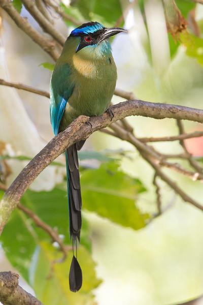 Blue-crowned Motmot - Heredia, Costa Rica