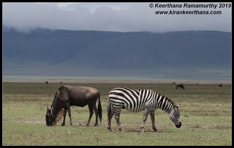 Zebra, Wildebeest, Ngorongoro Crater, Ngorongoro Conservation Area, Tanzania, November 2019