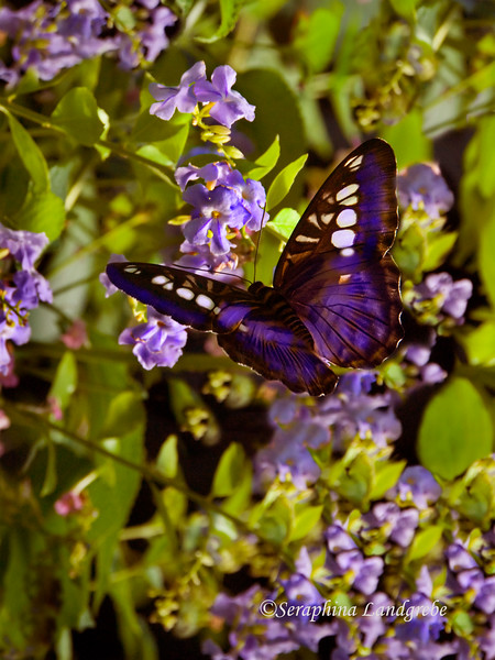 _DSC0056purple butterfly.jpg