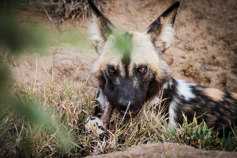 African Wild Dog snacking in the Timbavati, South Africa