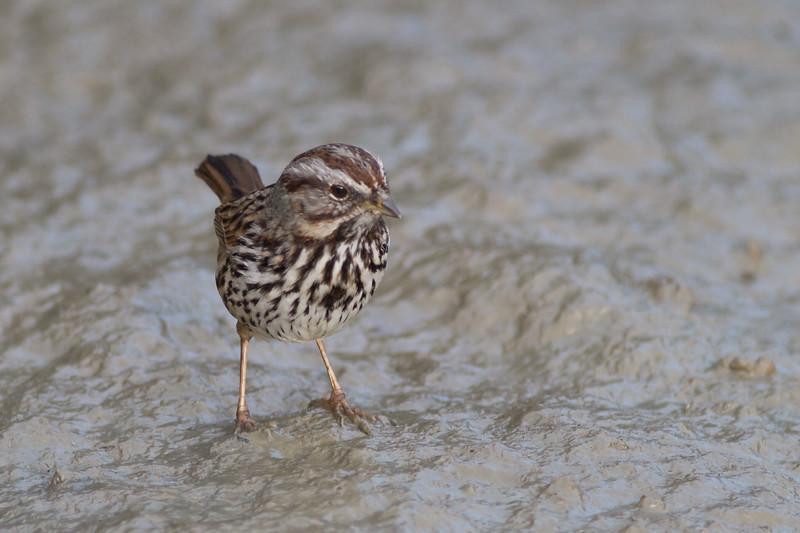 Song Sparrow - Mountain View, CA, USA
