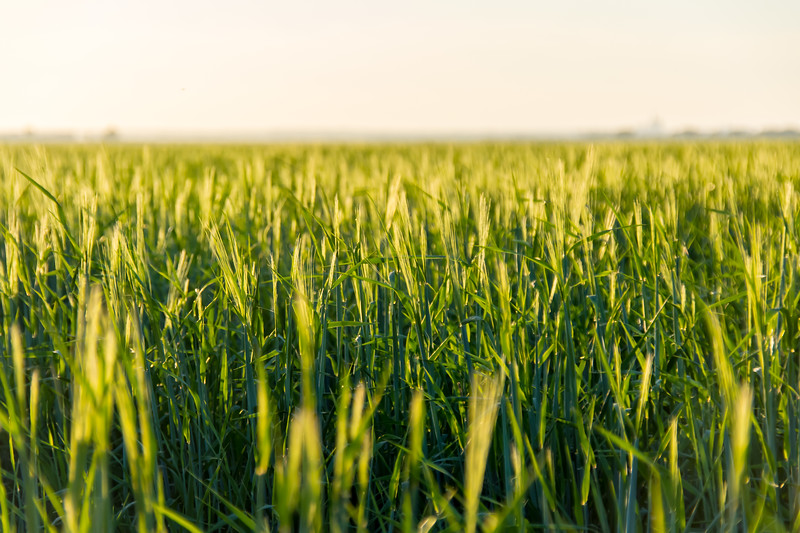 Barley (Hordeum vulgare) in a Sunset in Saskatchewan, Canada
