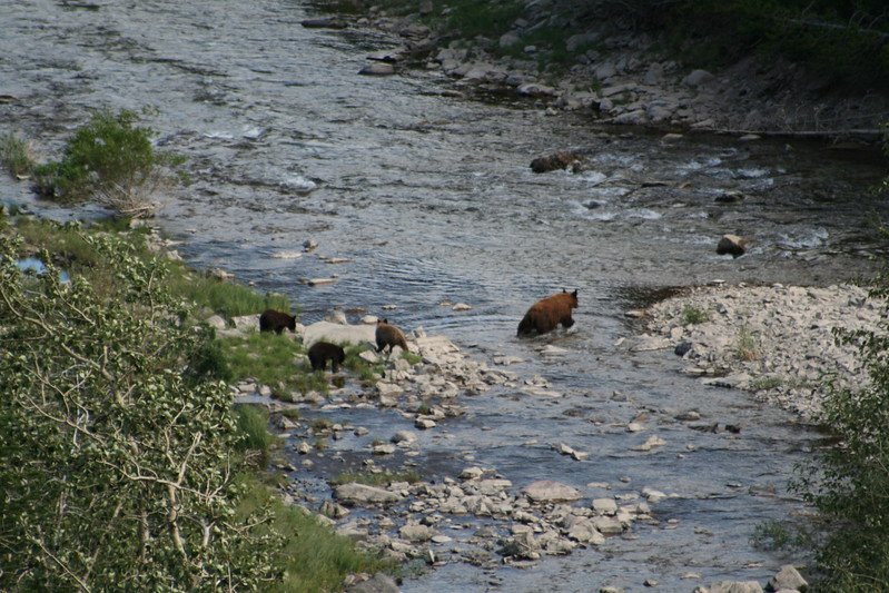 20110828 - 077 - GNP - Sow And 3 Bear Cubs Along Road By Many Glacier Hotel.JPG