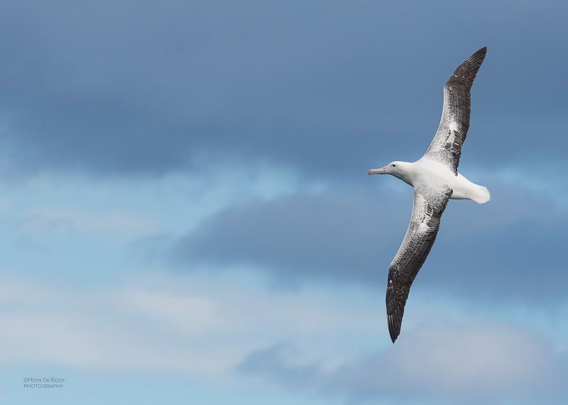 Southern Royal Albatross, Eaglehawk Neck Pelagic, TAS, Dec 2019-5.jpg
