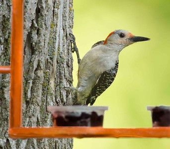 The jelly from our Oriole feeder has been disappearing faster than it should be.  Now I know the reason why.  This Red-bellied Woodpecker likes jelly too.  Here he is looking to see if anyone is watching him.