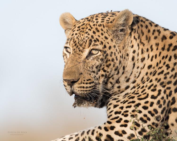 Leopard (Tingana), Sabi Sands (EP), SA, Oct 2016-2.jpg